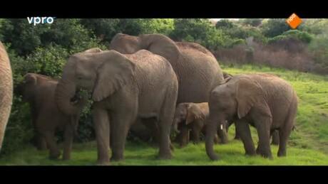 Verdoofde olifant