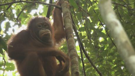 Orang-Oetan leefgebied