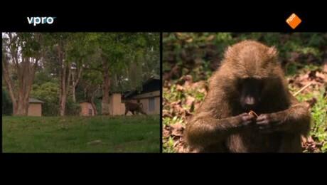 Slimme chimpansees