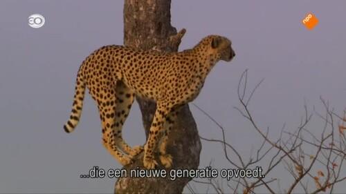 Natural World: Cheetahs growing up fast