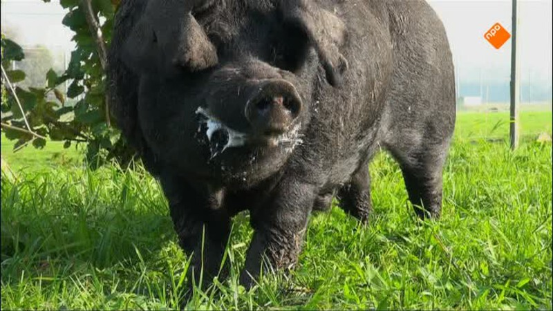 Trouwen met het varken Jopie